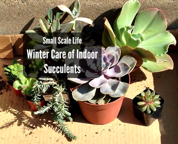 Winter Care Of Indoor Succulents Small Scale Life